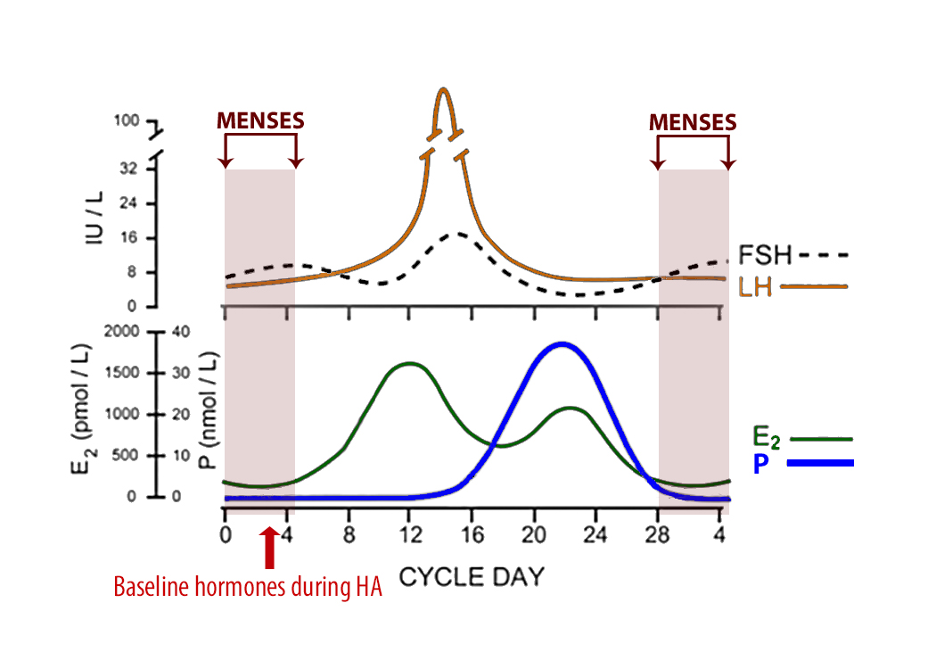 Hormones and menstrual cycle