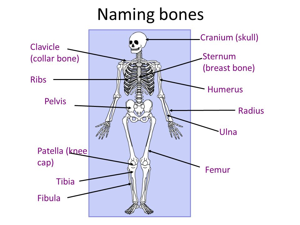 Name bone scientific for breast